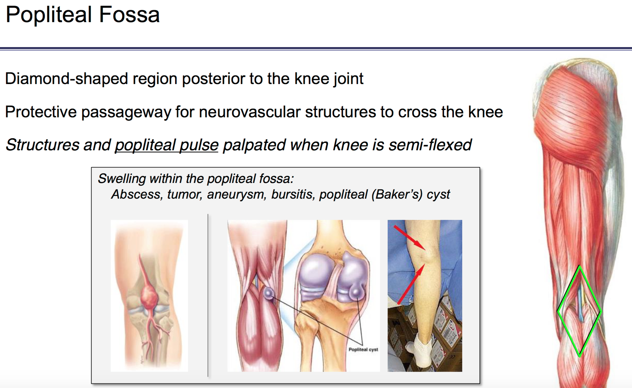 FG Anatomy G46 Popliteal Fossa & Posterior Leg (Anatomy Unit 6 ...