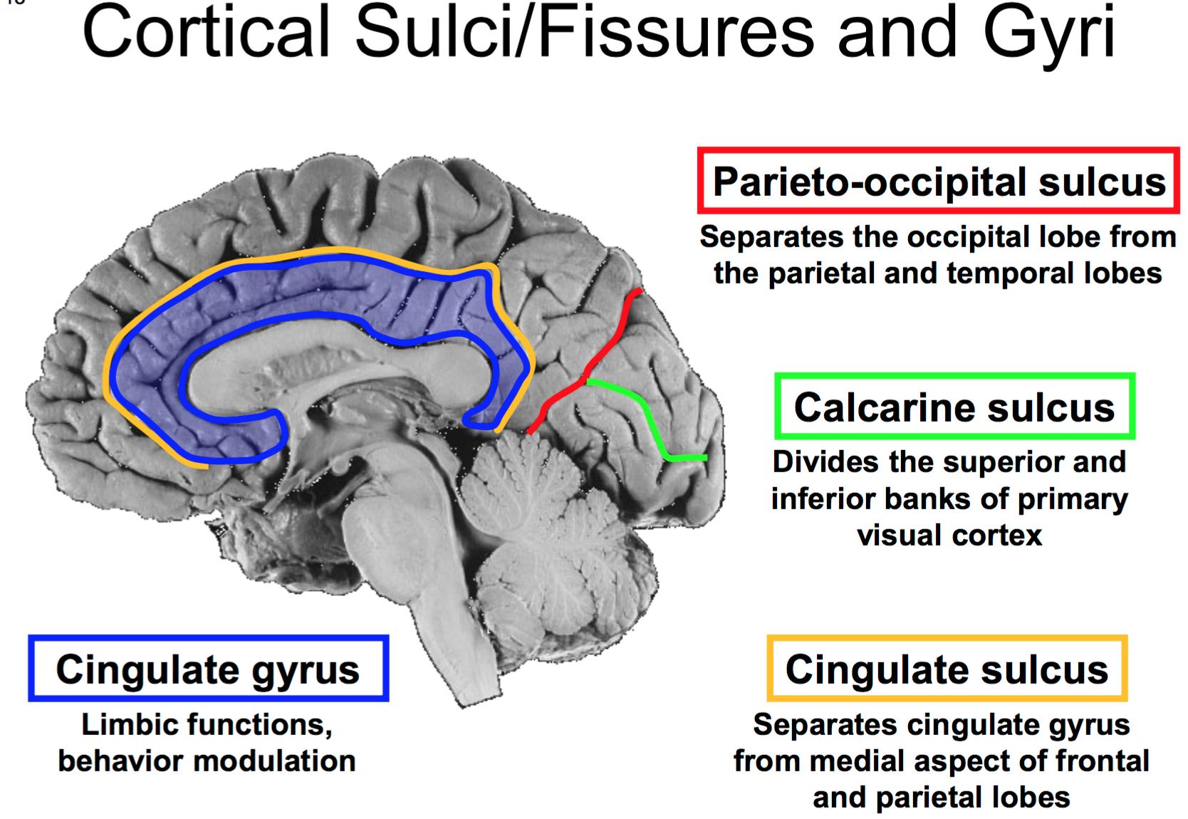 Anatomy G56 Brain, Dura, & Blood Supply to the Brain (Anatomy Unit 7 ...