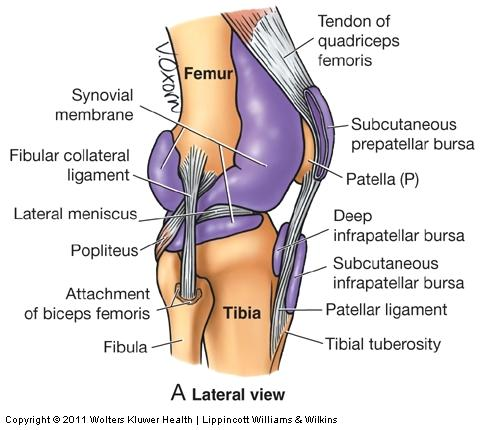 012 hip knee and ankle anatomy flashcards memorang between tendon of popliteus and lateral condyle of tibia opens into synovial cavity of knee ccuart Gallery