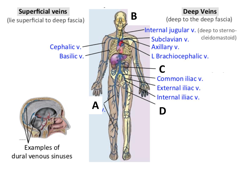 Beautiful Deep Vein Anatomy Ideas - Physiology Of Human Body Images ...