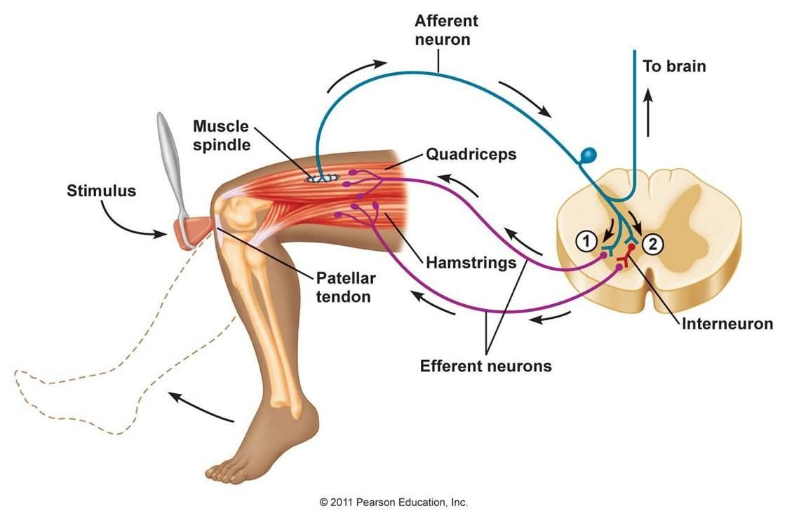 Superficial deep reflex testing npte nervous system patellar tendon pooptronica