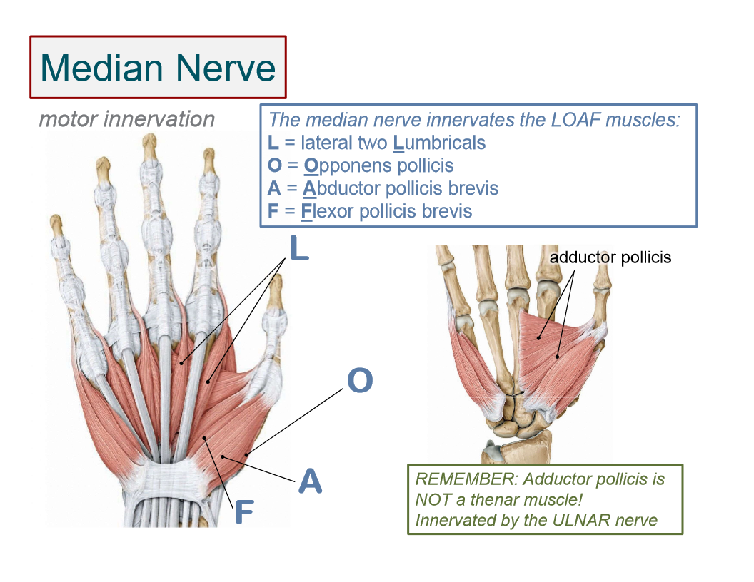 Motor Innervation Of Hand Muscles