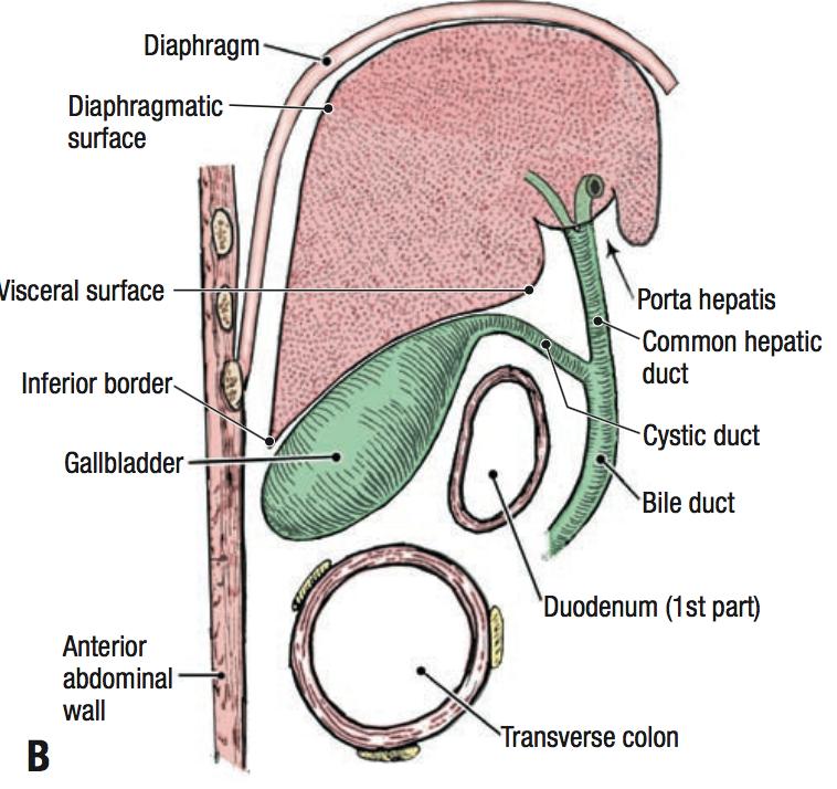 TC2 Anatomy (Anatomy) Flashcards | Memorang