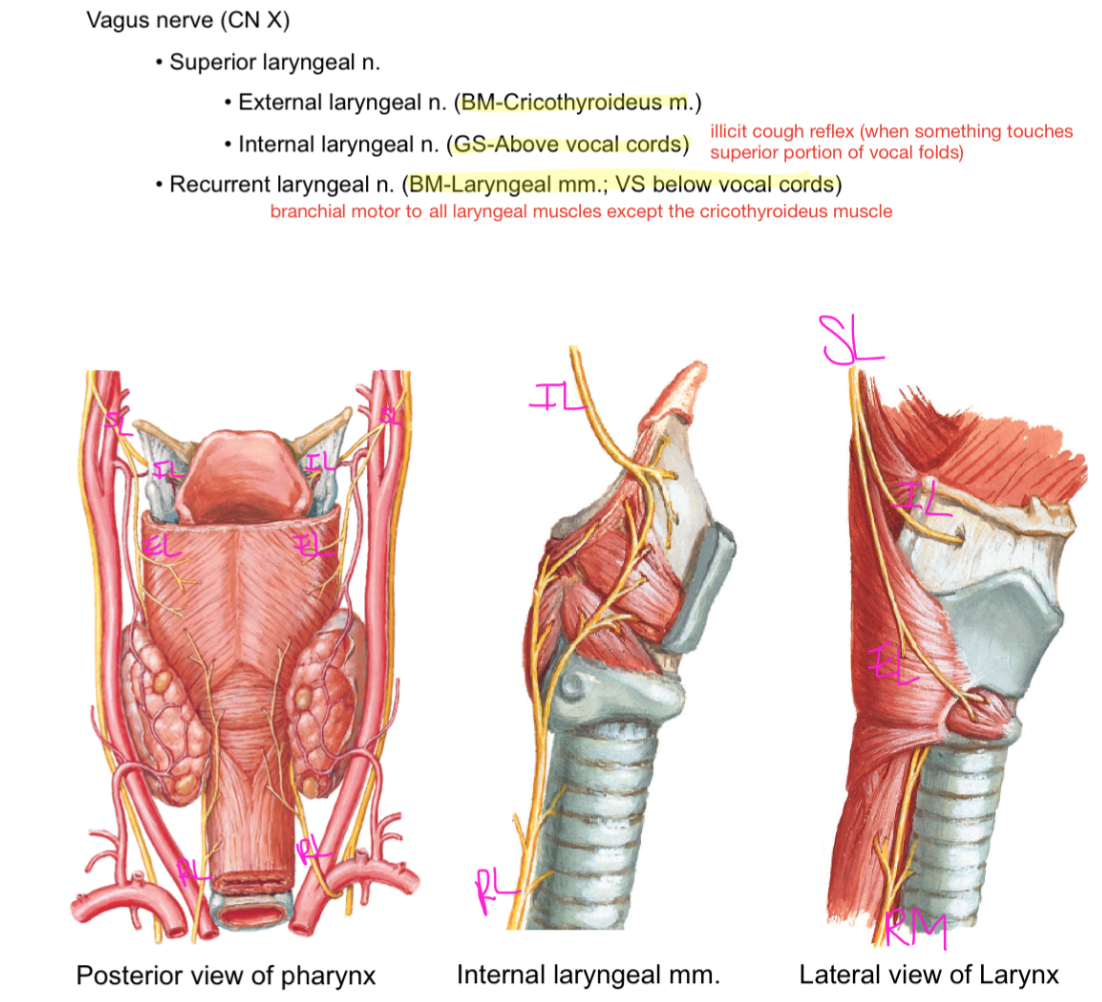 Enchanting Anatomy Of Vocal Cords Collection - Human Anatomy Images ...