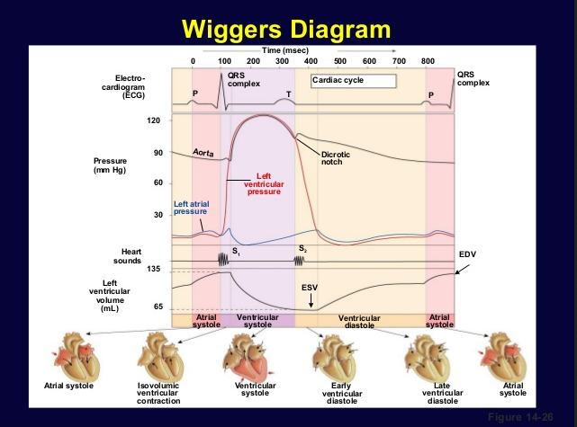 Wiggers Diagram Cardiac Action Potential With House Wiring Diagram