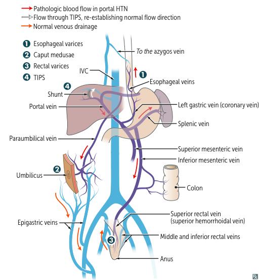 First Aid Gastrointestinal Gi Anatomy Flashcards Memorang