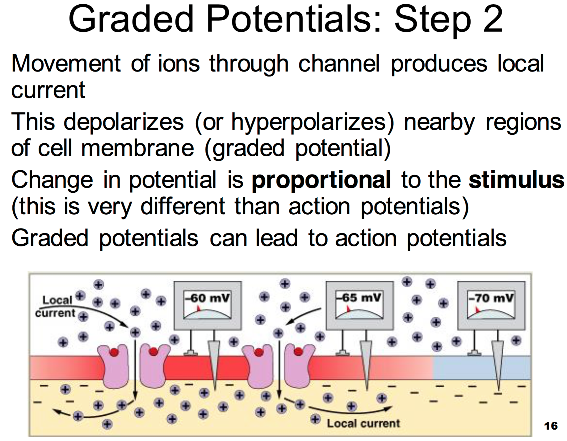 Learning Objectives And More Flashcards Memorang Graded potential vs action potential. learning objectives and more flashcards
