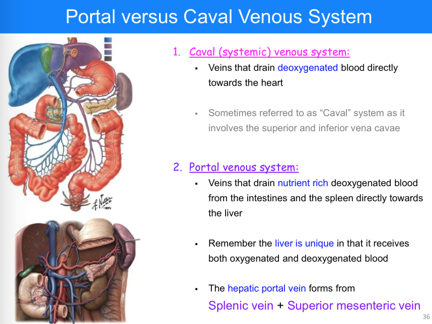Fine Portal Venous System Anatomy Collection Human Anatomy Images
