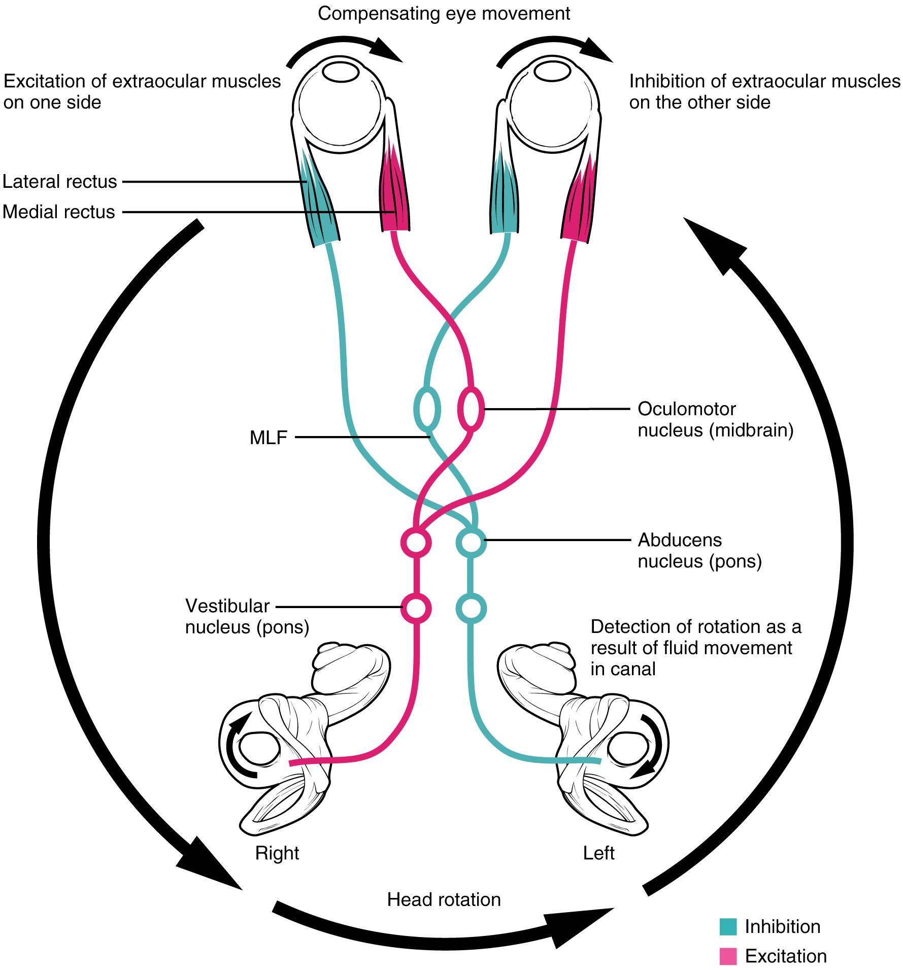 Eye/ Visual Pathway/ Visual Reflex/ Embryology (Anatomy III ...