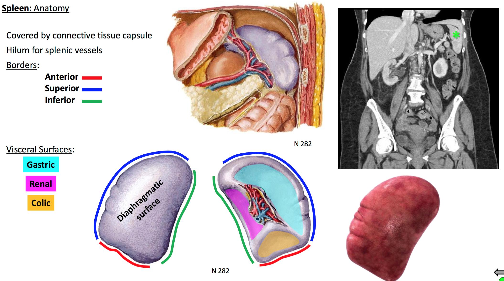 17. Anatomy G30 Foregut II (Terms from GSAnatomy G30 Foregut II ...