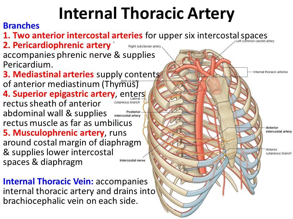 Block 3: Thorax & Abdomen, Anatomy Course Pack (Anatomy) Flashcards ...