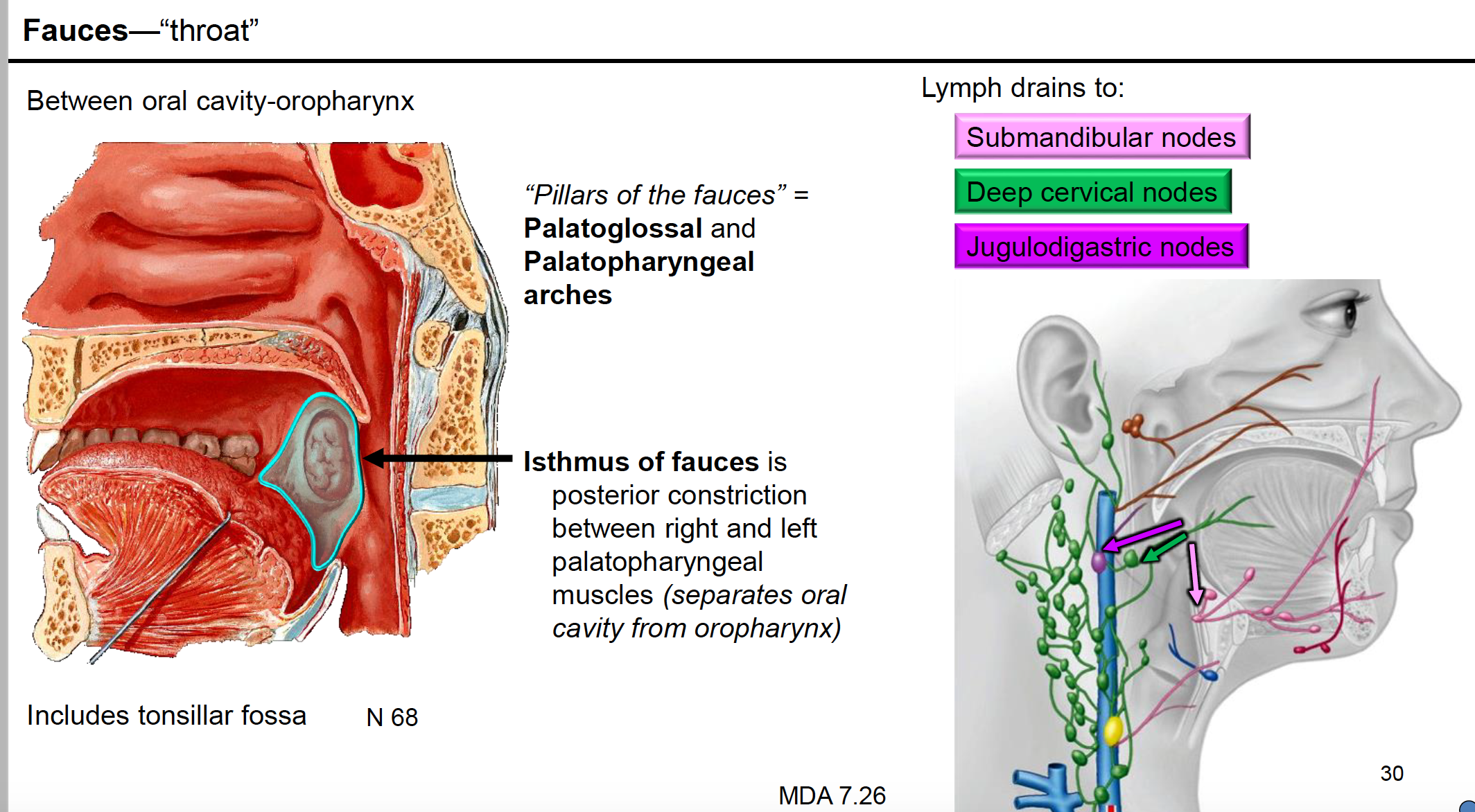 Anatomy G62 Pharynx and Palate (Anatomy Unit 8) Flashcards   Memorang