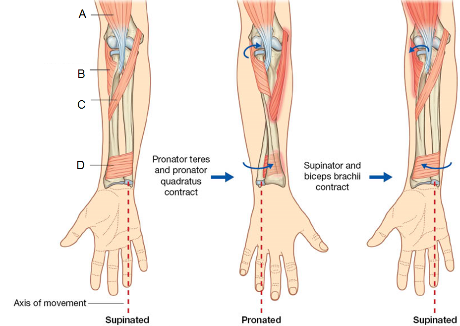 Forearm and hand (Spring 2017 Anatomy) Flashcards | Memorang
