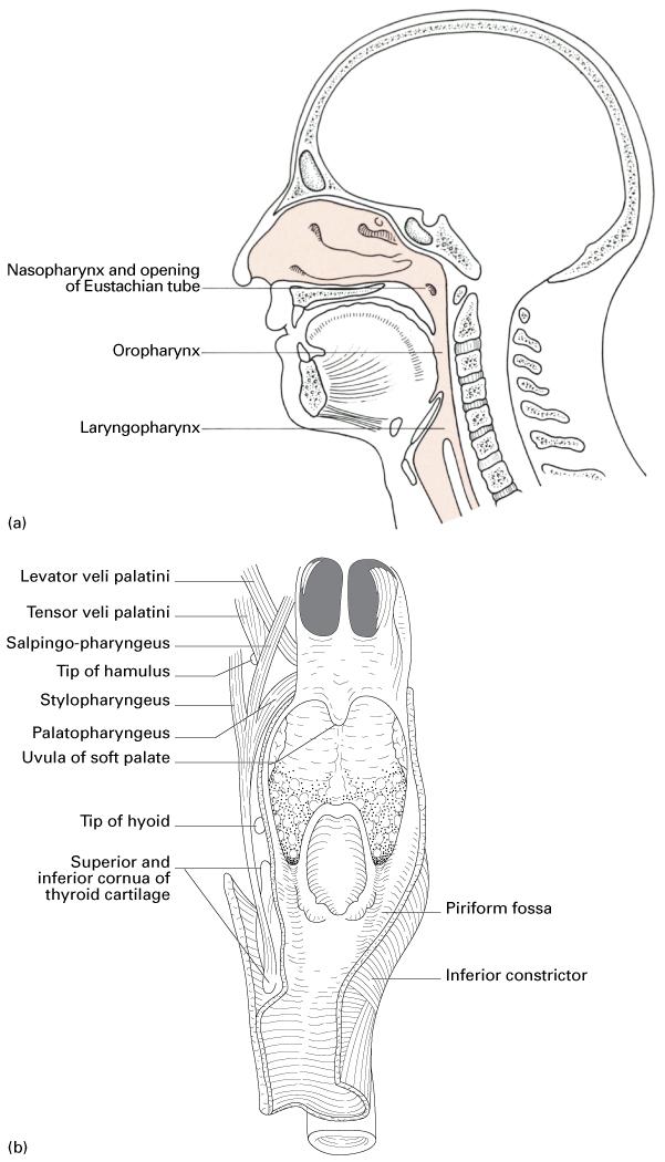 Anatomy_Neck (Anatomy) Flashcards   Memorang