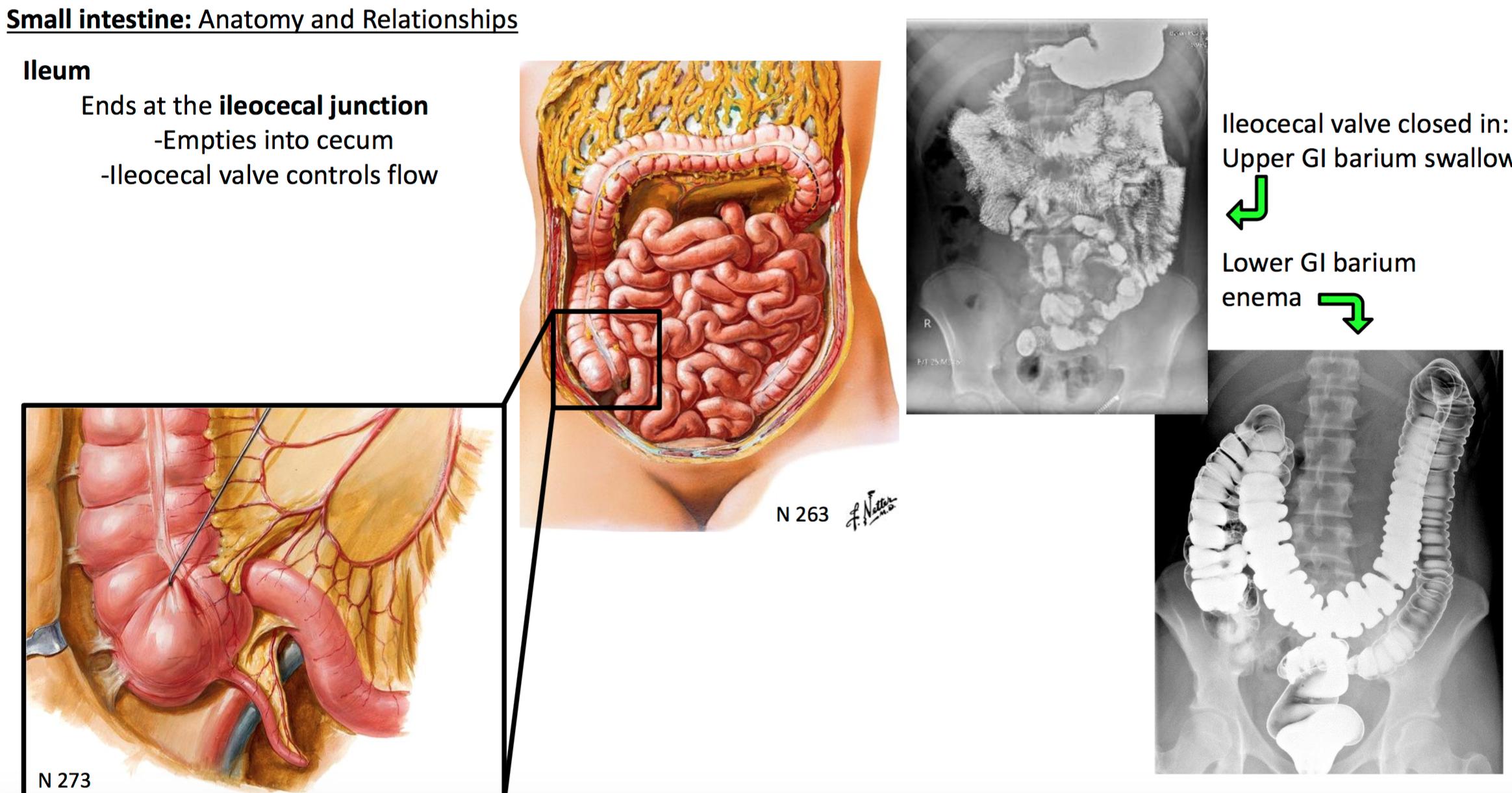 18 Anatomy G31 Midgut Hindgut Terms From Gsanatomy G31 Midgut