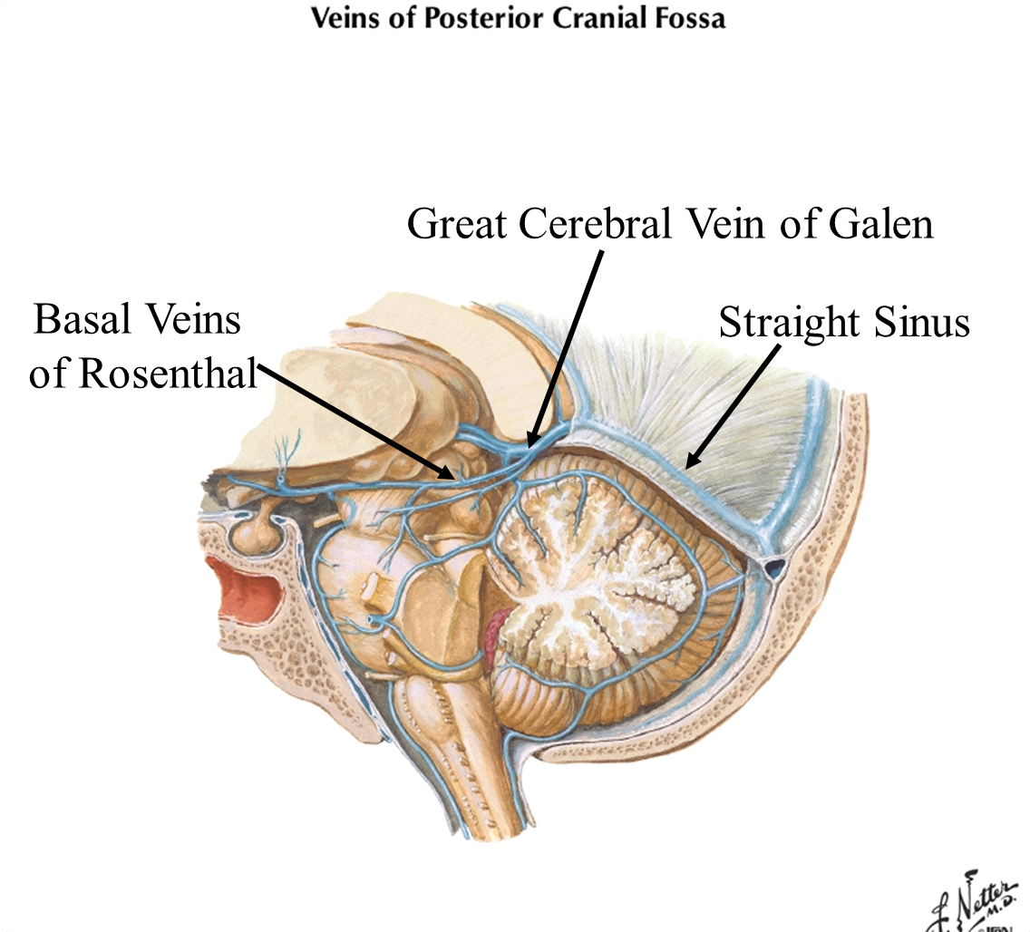 Neuro 1 (gross brain/blood supply) Flashcards | Memorang