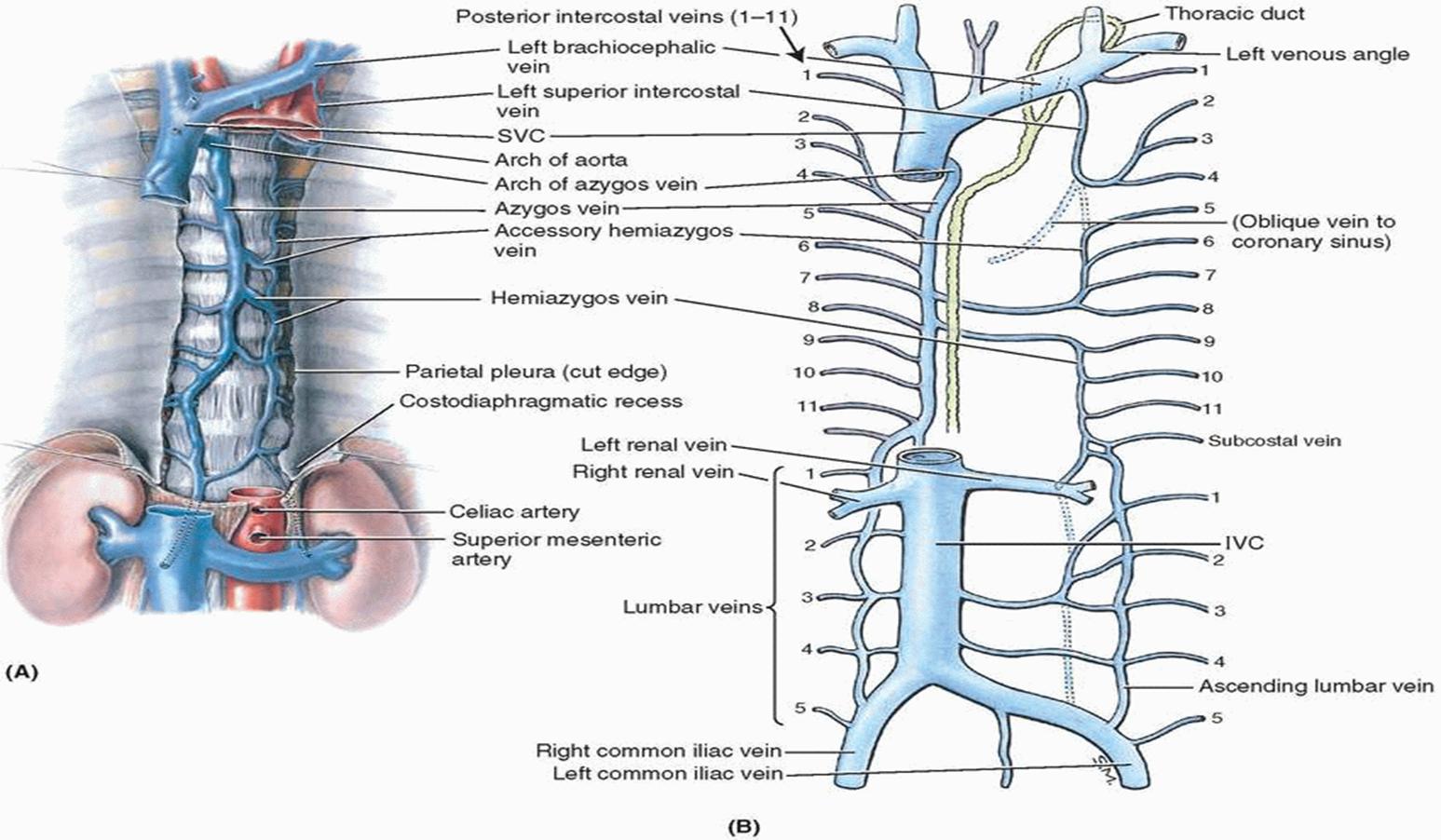 015A - Superior, Anterior, and Posterior Mediastinum (Anatomy ...
