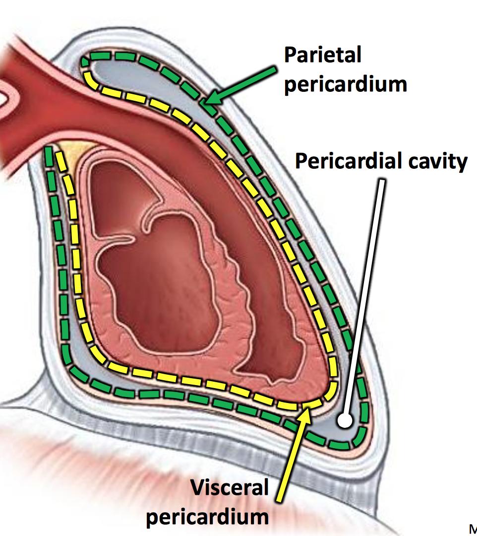 gs g22 middle mediastinum (anatomy unit 3) flashcards | memorang, Human Body