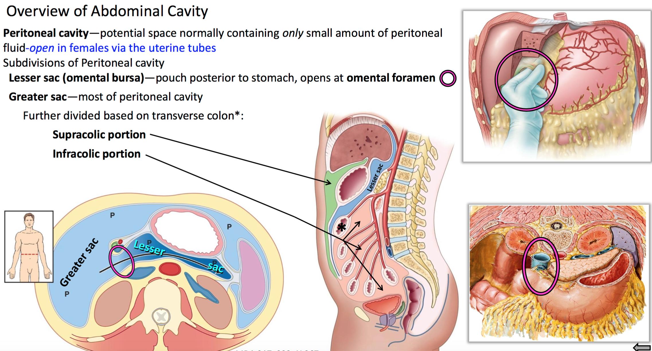 Subphrenic Space Anatomy Gallery - human body anatomy