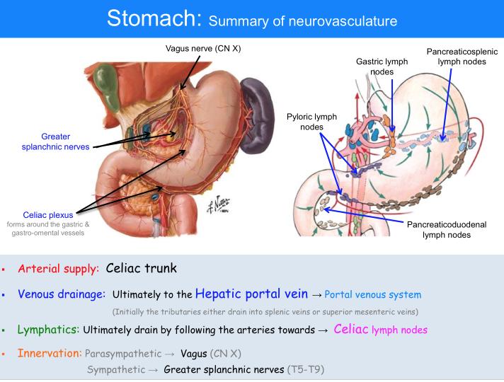 Anatomy of the abdomen 2 supracolic viscera anatomy flashcards celiac ccuart Gallery
