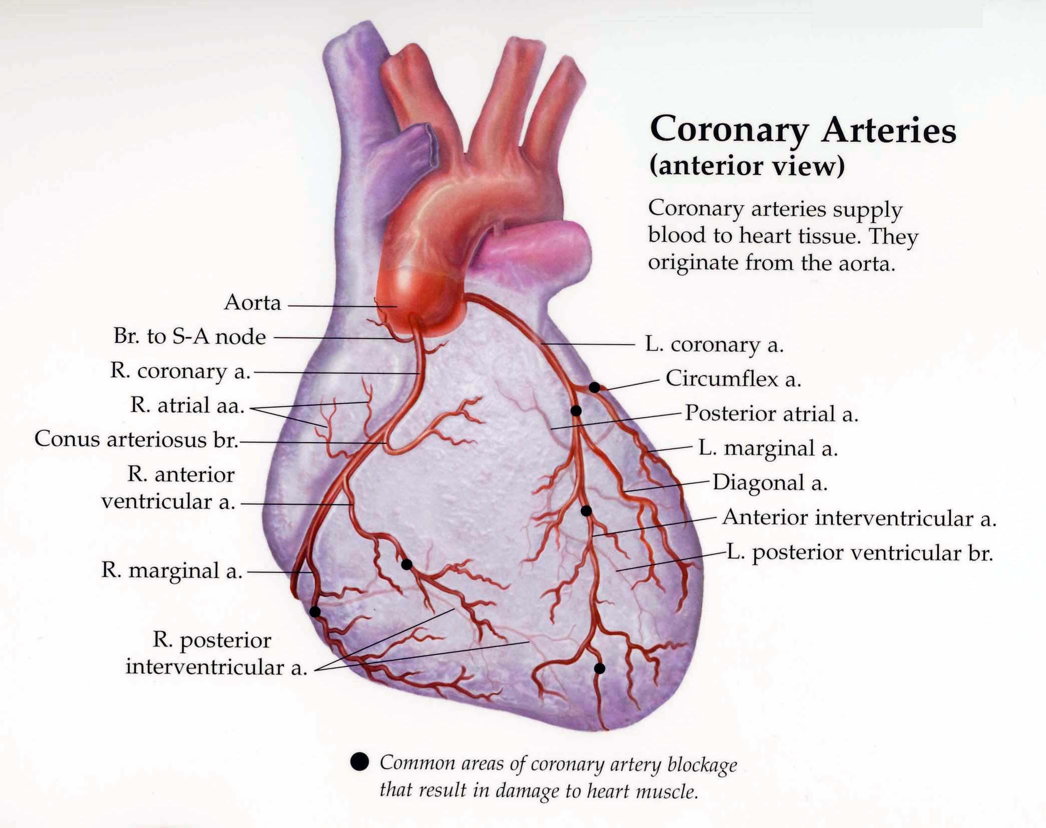 Fein Cardiovascular Anatomy And Physiology Galerie - Menschliche ...