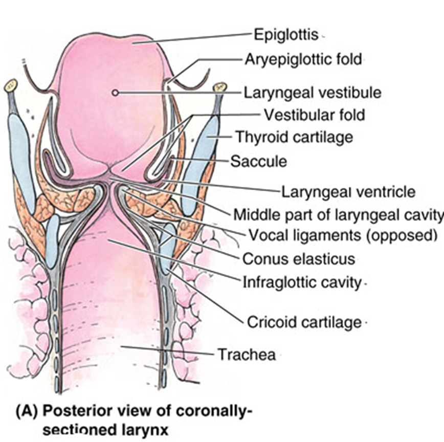 002a Larynx Anatomy Ii Flashcards Memorang