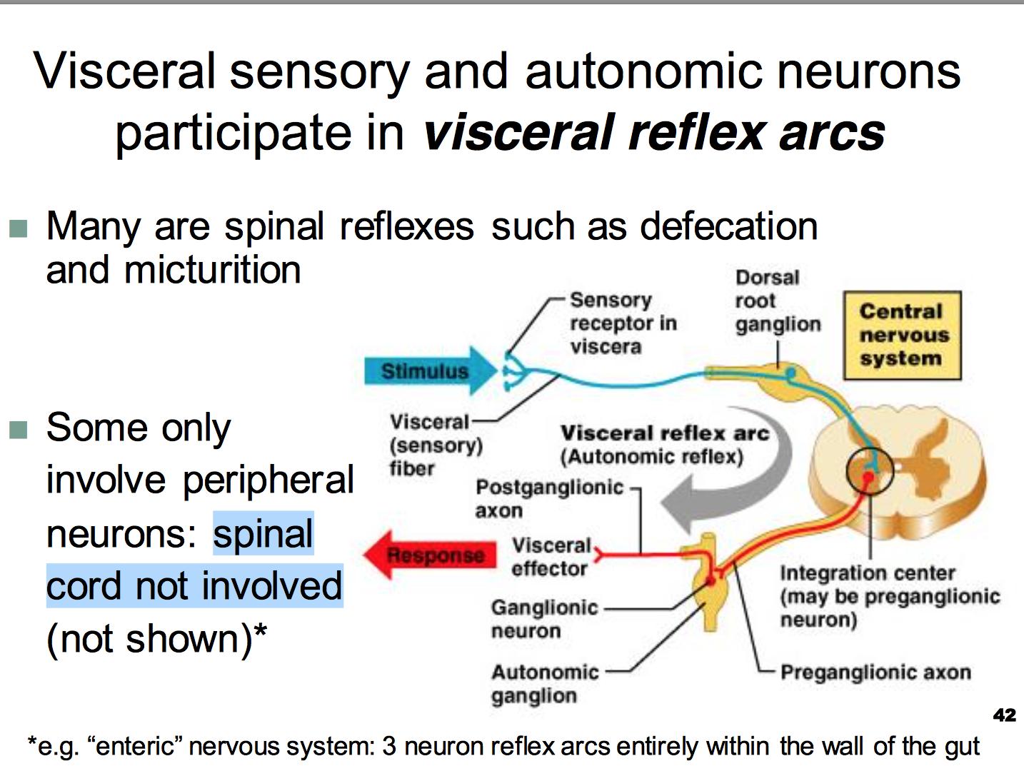 Ccf L11 Autonomic Nervous System Physiology Unit 1 Flashcards