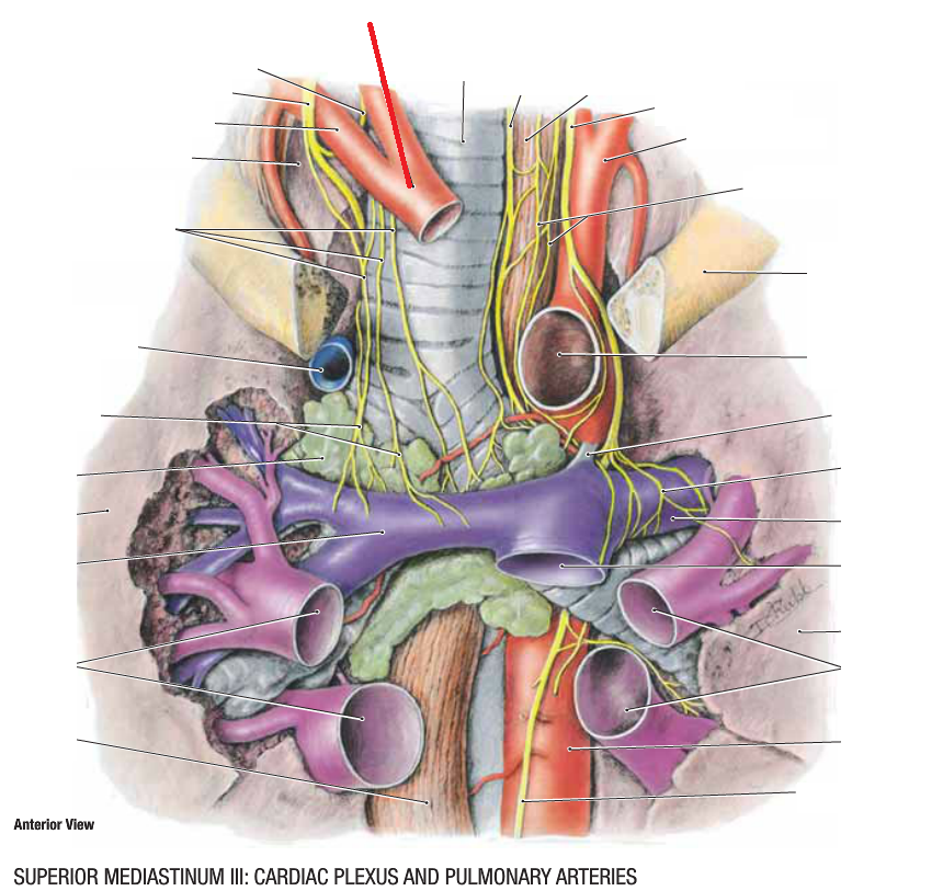 Anatomy 4 Posterior Mediastinum Aorta Esophagus Cpr I