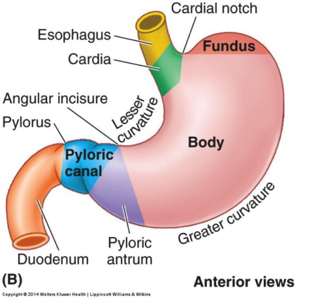 parts of stomach