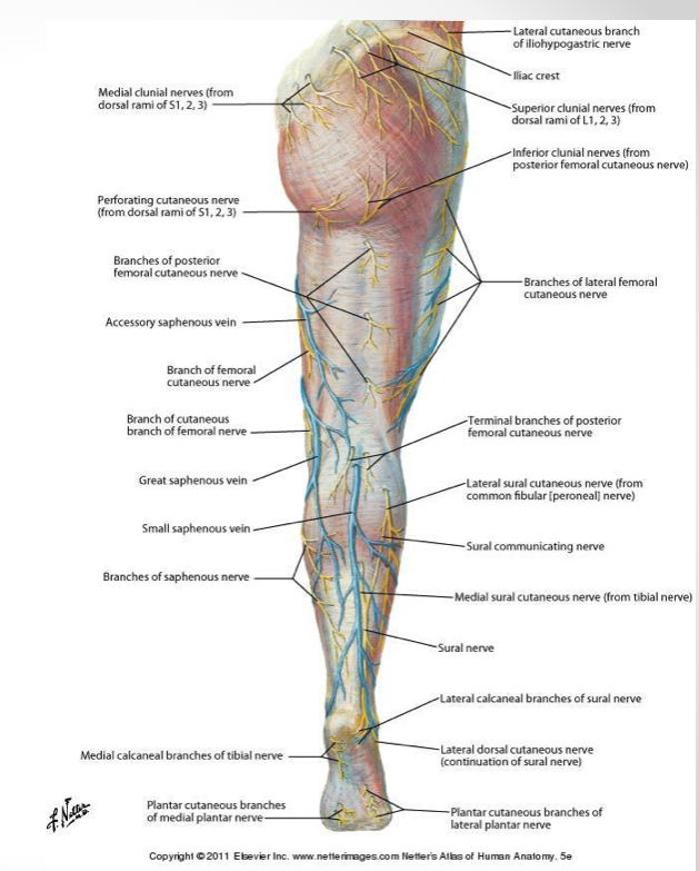 Superficial structures of the lower limb (Anatomy) Flashcards | Memorang