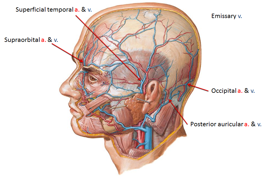 face and parotid region (cade exam 5) flashcards | memorang, Human Body