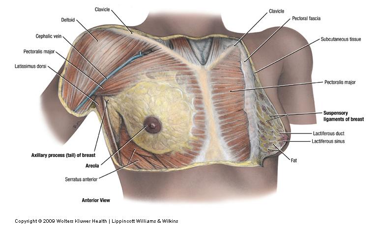 Anatomy Clinical Correlates Pectoral Region And Axilla Unit 2
