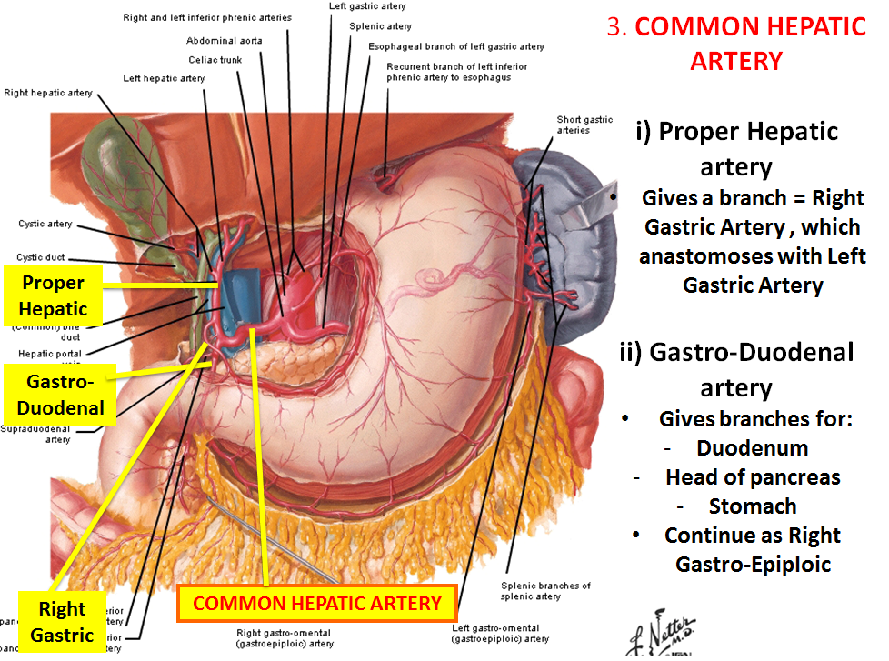 Lecture 4 Abdominal Vasculature Gross Anatomy Unit 7 Flashcards