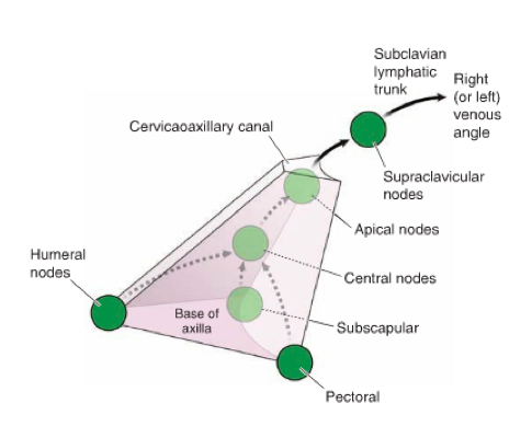 Upper Limb (Anatomy Clinical Correlations) Flashcards | Memorang