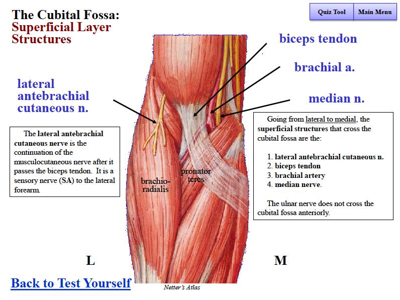 Anatomy of cubital fossa
