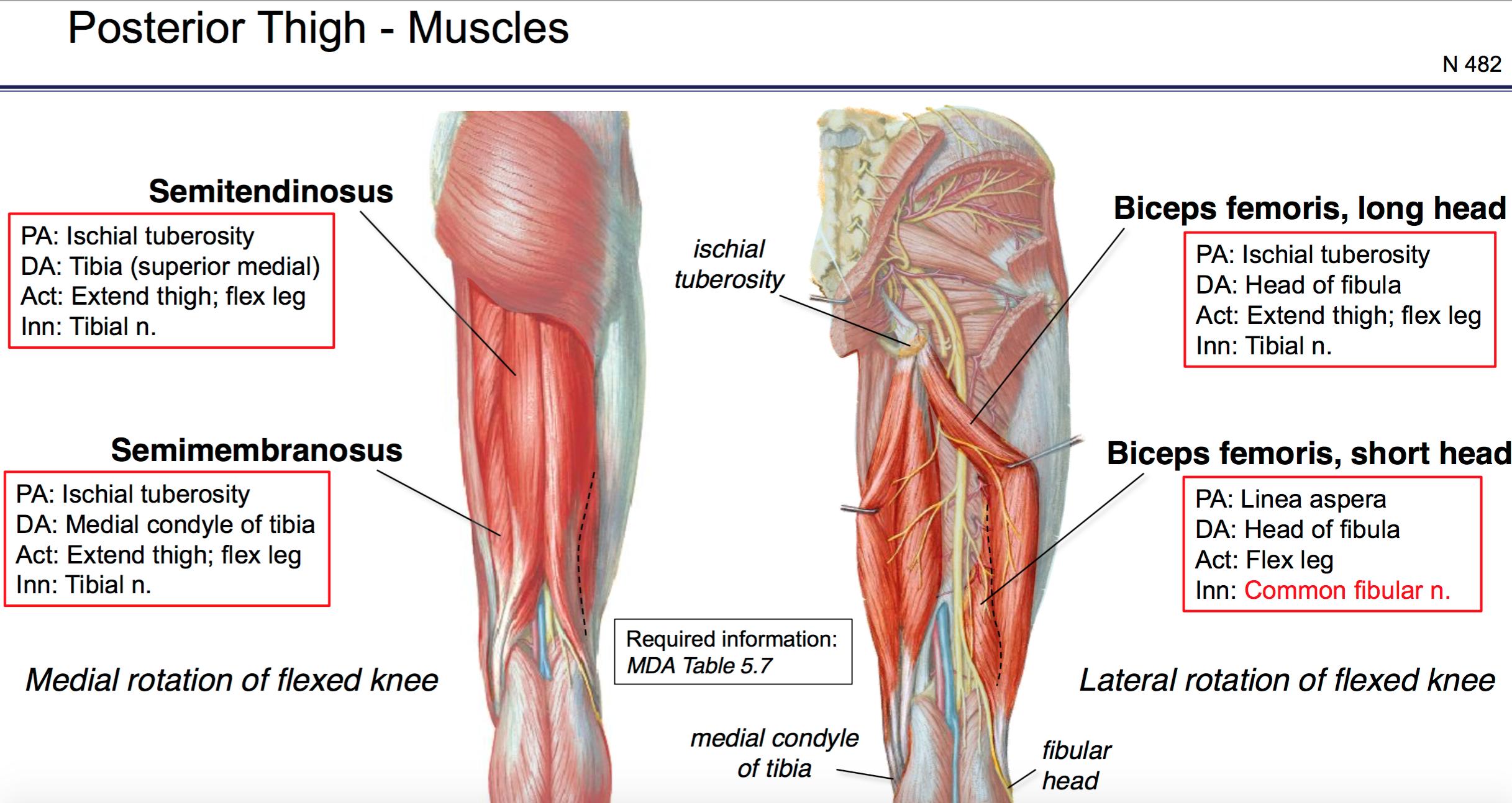 Fg Anatomy G45 Gluteal Region Posterior Thigh Anatomy Unit 6