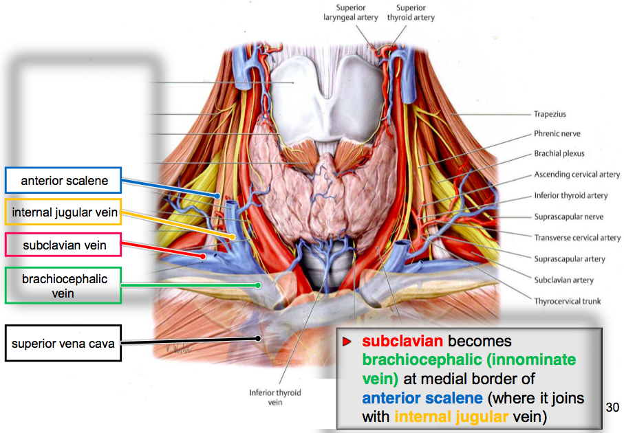 Upper arm: axilla and brachial plexus (L14) Flashcards   Memorang