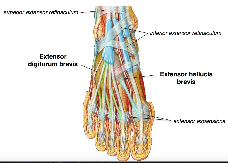 FG Anatomy G48 Anterior & Lateral Leg (Anatomy Unit 6) Flashcards ...