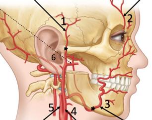 N 2GA1 Facial Anatomy (Gross Anatomy) Flashcards | Memorang