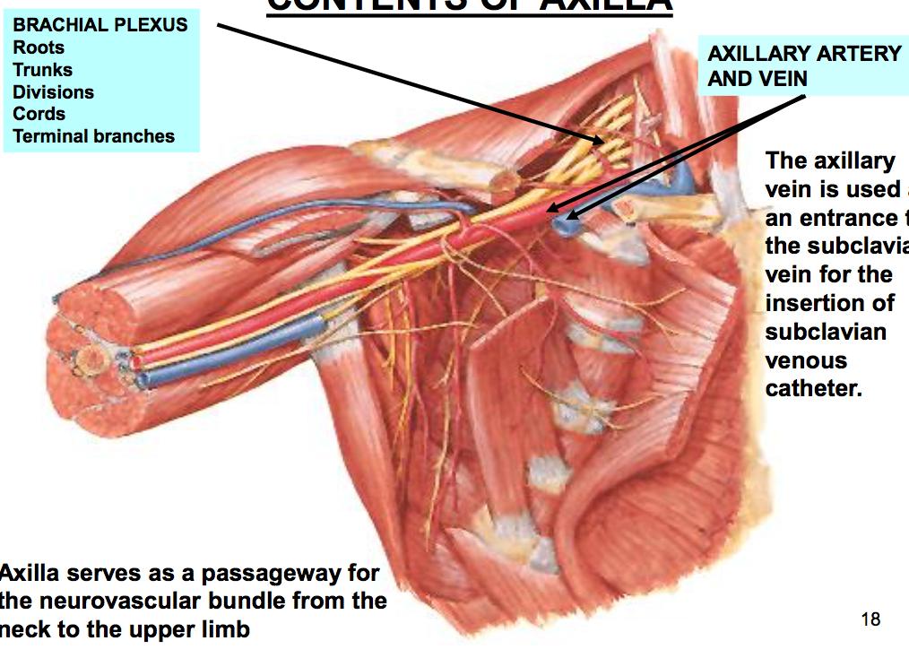 Axilla & Brachial Plexus (MSK) Flashcards | Memorang