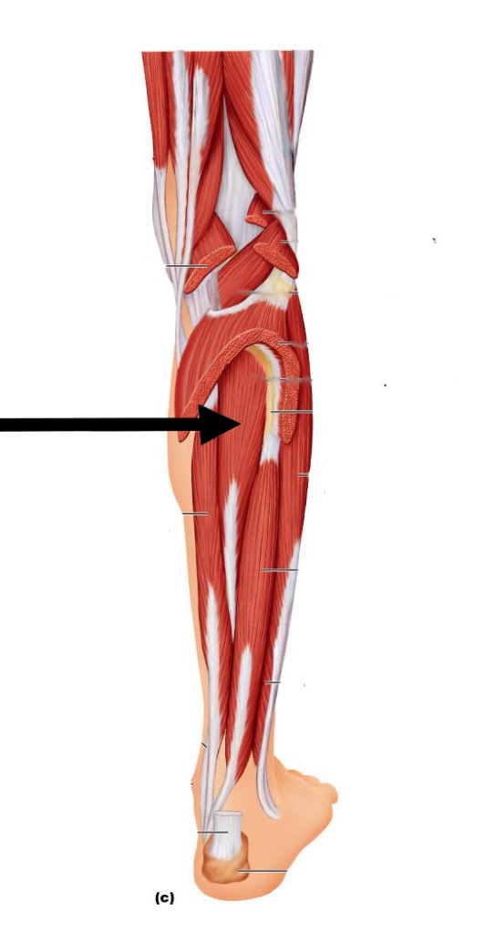 Großartig Arteria Tibialis Posterior Galerie - Anatomie Von ...