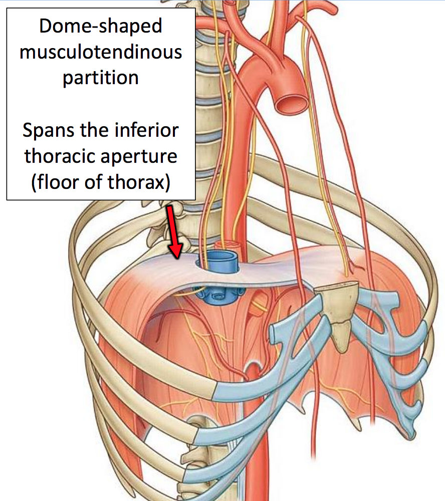 GS G19 Thoracic Wall & Breast (UNIT 3) Flashcards | Memorang