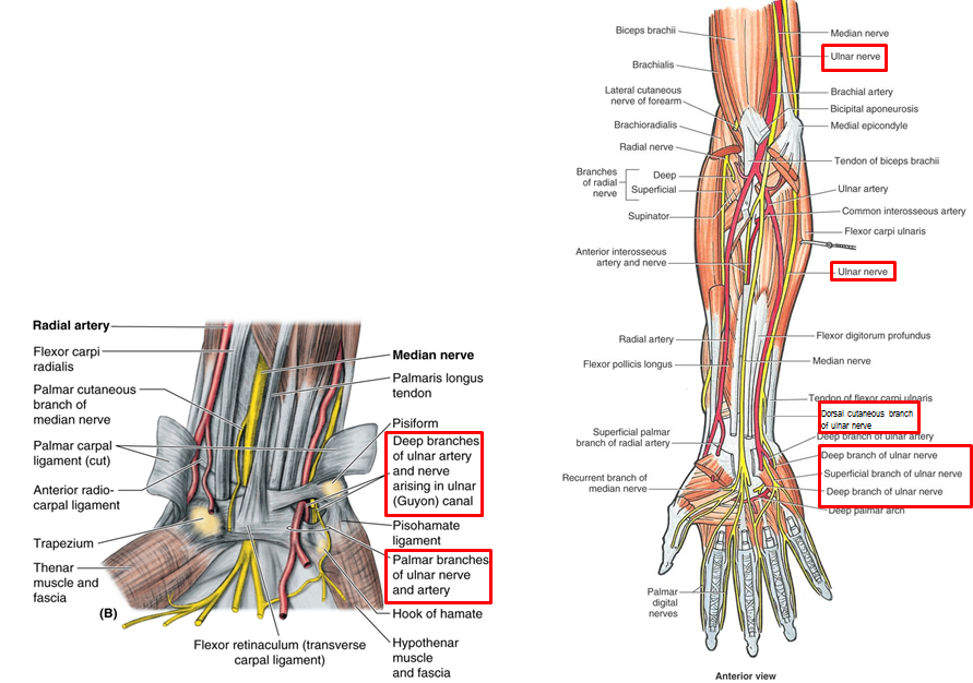 3.05 - Hand Muscles + Wrist Joint (Anatomy) Flashcards | Memorang