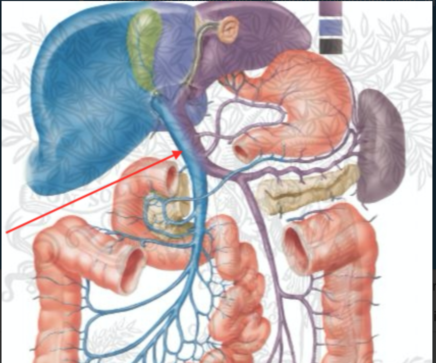 Gross Anatomy (Gross Anatomy GI/Liver) Flashcards | Memorang