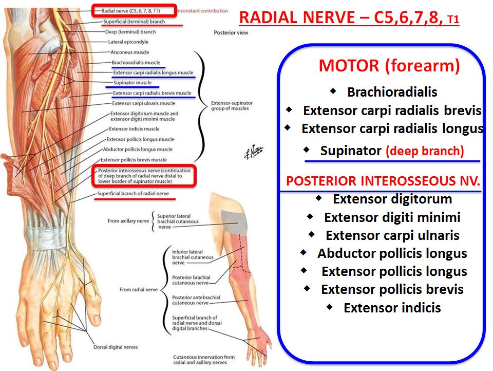 Radial Nerve Motor Distribution | motorwallpapers.org