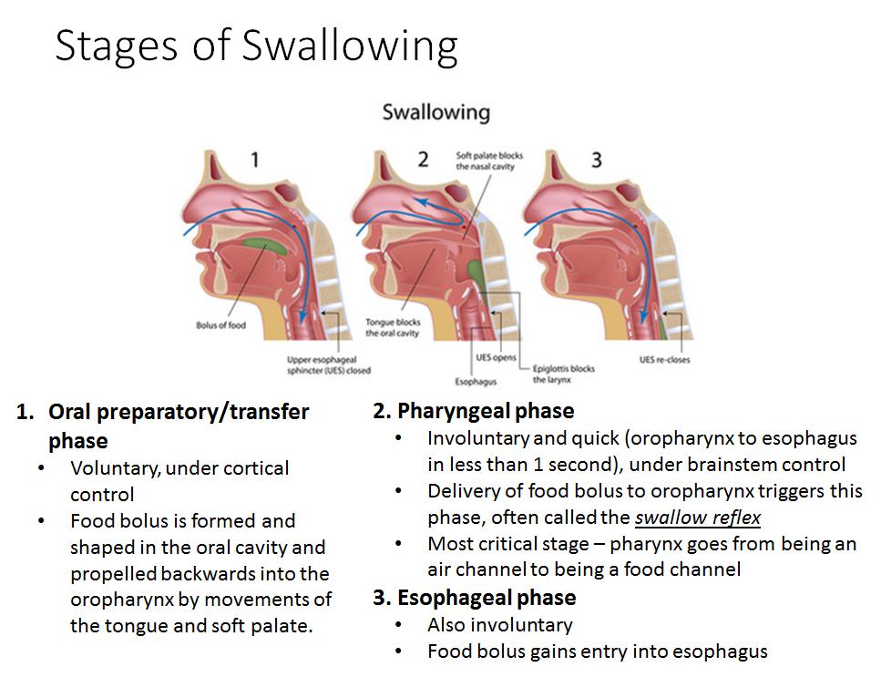 Lecture 3 Pharynx Gross Anatomy Unit 6 Flashcards Memorang