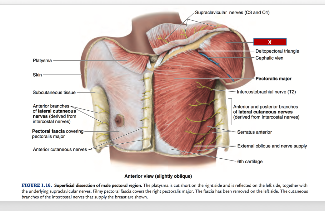 Fine Supraclavicular Area Anatomy Gallery Anatomy And Physiology