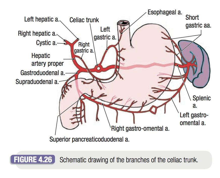 Tc2 Anatomy Anatomy Flashcards Memorang