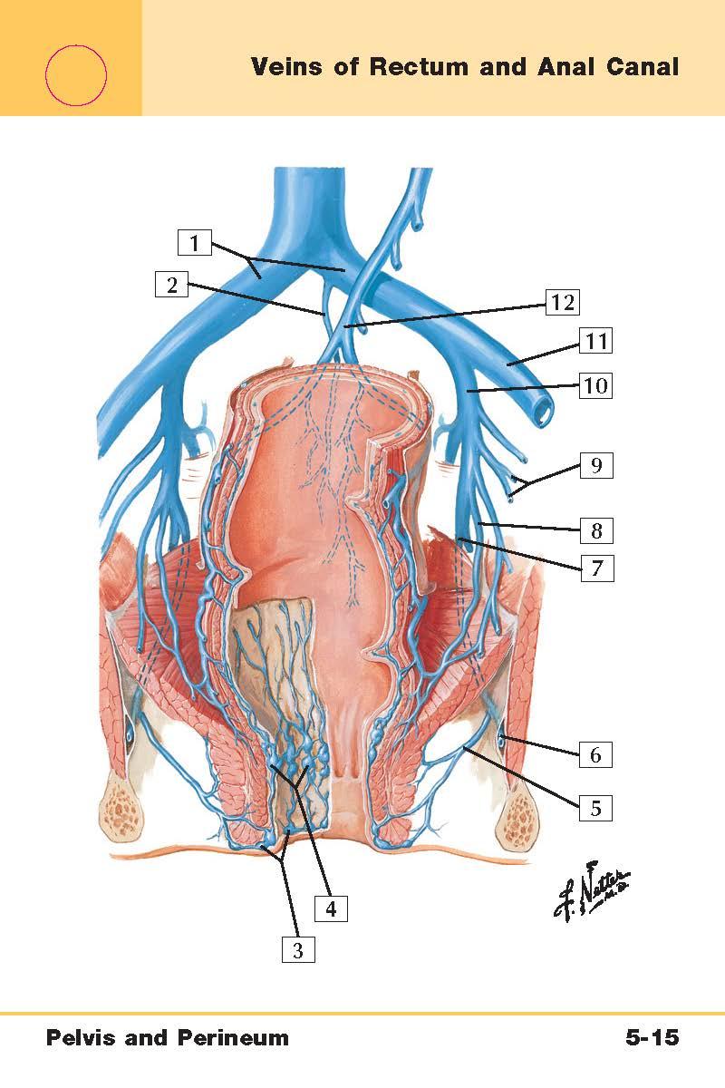 Pelvis and Perineum Anatomy (Netter\'s Flash Cards) Flashcards   Memorang