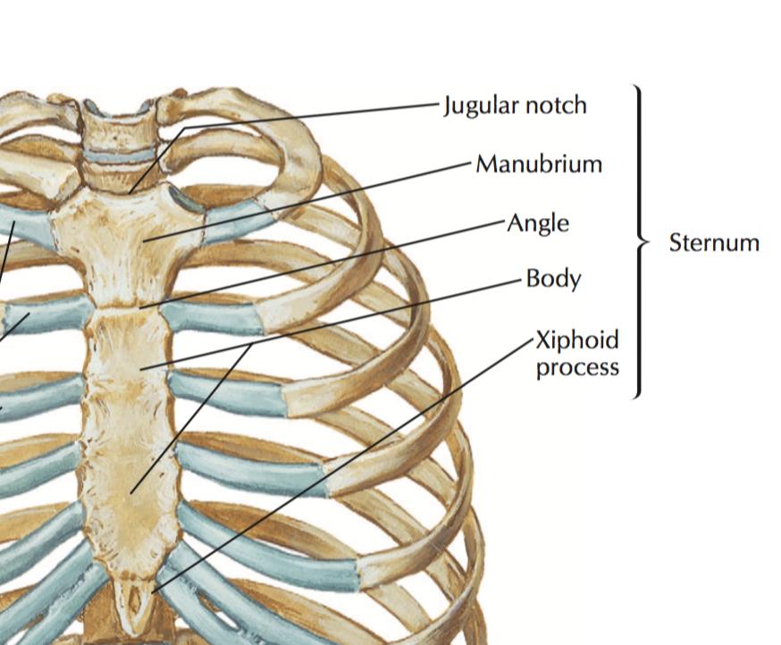 Gross Anatomy: Thoracoabdominal Wall (Lab 3 of gross anatomy for FMS ...